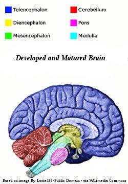 Mature Human Brain
