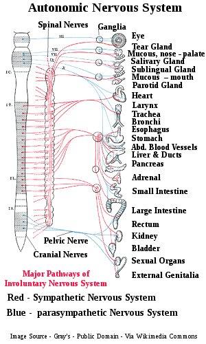 Involuntary Nervous System