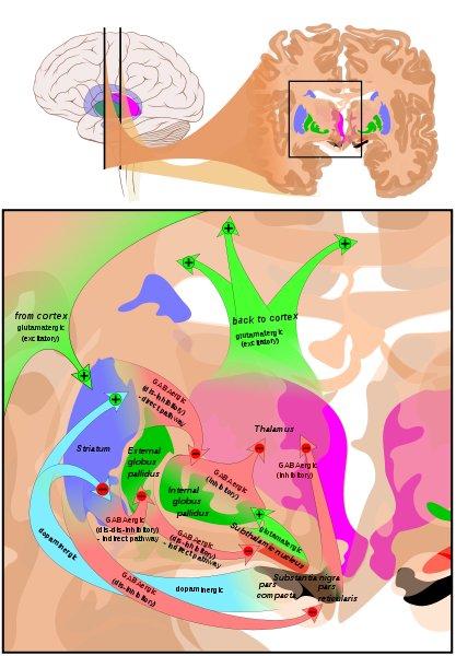 Human Brain - Basal Ganglia