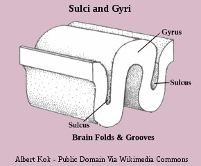 Human Brain Gyri and Sulci