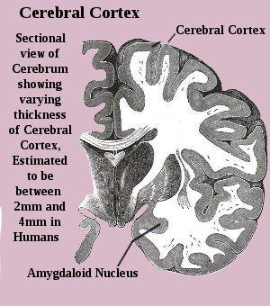Human Cerebral Cortex