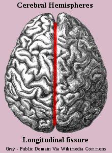 Human Brain Cerebral Hemispheres