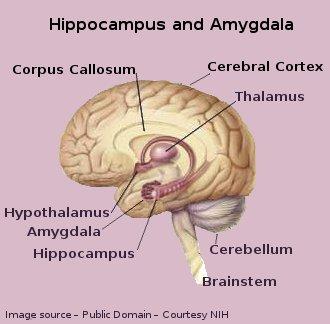 Human Brain - Hippocampus and Amygdala