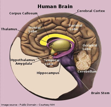a description of how a human brain works As a result of the work reported here there has emerged a much clearer appreciation of what happens during the course of a night's sleep.