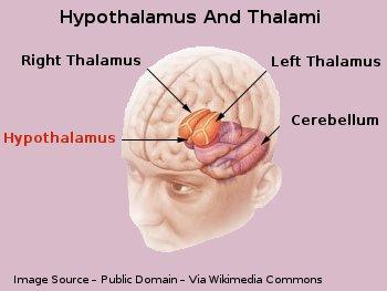 Human Brain Hypothalamus