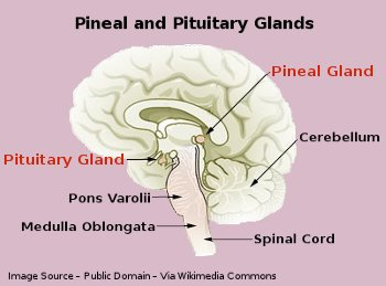 Human Brain - Pineal and Pituitary Glands