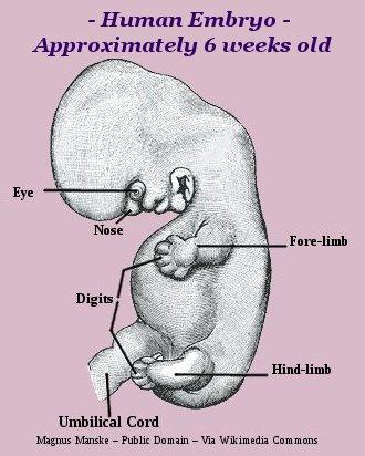 Human embryo six weeks old