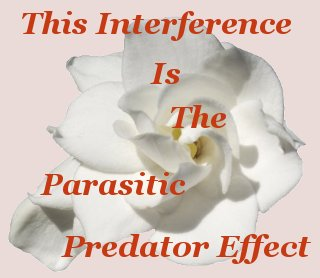 This interference is the parasitic predator effect