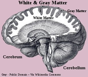 Human Brain - White and Gray Matter