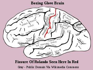 Human Brain Fissures