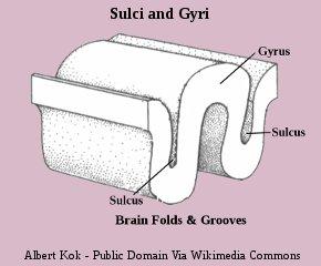 Human Brain Gyri and Sulci