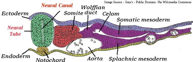 Human Neural Tube