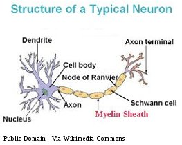 Human Brain Structure of Typical Neuron